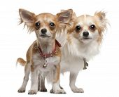 Chihuahuas, 2 Years Old, 5 Months Old, Standing In Front Of White Background