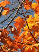 Maple Leaf Triangle
