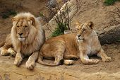 Angola Lion And Lioness