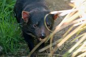 picture of taz  - Tasmania devil running free in a Tasmanian forest - JPG
