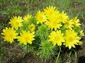 foto of adonis  - Flowers of adonis - JPG