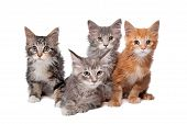 Four Main Coon kittens In A Row