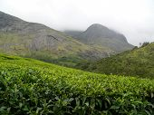 Tea Plantation Estate