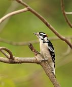 Male Downy Woodpecker, Picoides Pubescens