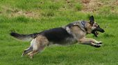 stock photo of german shepherd dogs  - alsatian running free and leaping for pleasure as he exercises - JPG