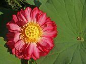 Unique Red Lotus
