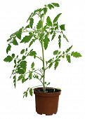 pic of tomato plant  - green tomato plant in brown flowerpot - JPG