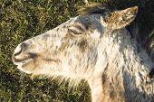 Beautiful appaloosa foal sleeping
