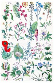 picture of borage  - Herbs - JPG
