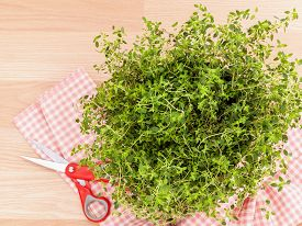 picture of clary  - Alternative mediterranean medicinal plants lemon thyme for medicinal and culinary use on wooden background - JPG