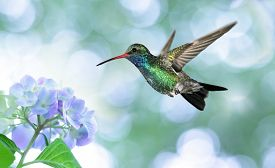 image of hummingbirds  - Dreamy Image of Ruby-throated hummingbird in the garden ** Note: Soft Focus at 100%, best at smaller sizes - JPG