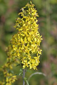 picture of goldenrod  - Goldenrod - Solidago virgaurea