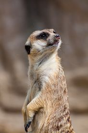 pic of meerkats  - funny meerkat sitting on a rock in the zoo - JPG