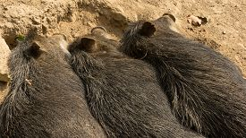 picture of pig  - Visiting city zoo I saw three wild pigs sleeping next to each other so I could not resist to take a picture - JPG