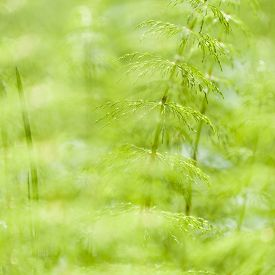 pic of horsetail  - Equisetum sylvaticum, Wood horsetail in a Finnish forest