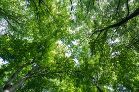 picture of canopy  - A low angle view of a tree canopy in a forest with space for text - JPG