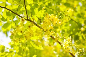 image of cassia  - Golden shower or Cassia fistula or Fabaceae flowers - JPG