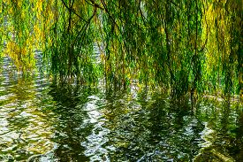 stock photo of weeping  - Green and Yellow Weeping Willow Branch Reflected in Lake in Park in the Afternoon in Autumn - JPG
