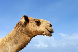 foto of camel  - Camel head on sky with clouds background - JPG