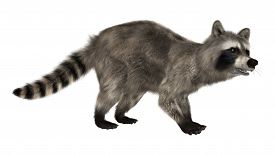 picture of raccoon  - 3D digital render of a raccoon iisolated on white background - JPG