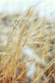 pic of dry grass  - Frozen dry grass - JPG