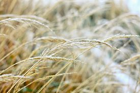 foto of dry grass  - Frozen dry grass - JPG