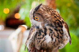 stock photo of owl eyes  - Eagle owl with orange eyes looking sideways - JPG