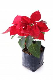 picture of poinsettia  - red poinsettia flower isolated on white background - JPG
