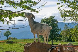 pic of tree snake  - mountain goat while eating the leaves of a tree - JPG