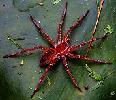 stock photo of huntsman spider  - OLYMPUS DIGITAL CAMERA. Here is a huge scary huntsmen spider. ** Note: Slight blurriness, best at smaller sizes - JPG