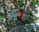 picture of copulation  - A pair of passionflower butterflies copulating in a tree - JPG