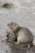 European Ground Squirrel (spermophilus Citellus) poster