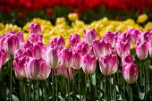 Blooming pink tulips flowerbed in Keukenhof flower garden, also known as the Garden of Europe, one o poster