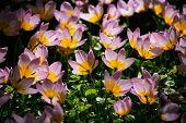 Blooming pink tulips Tulipa saxatilis flowerbed in Keukenhof flower garden aka the Garden of Europe, poster