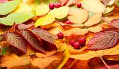 Autumn still-life with yellow leaves and mountain ash
