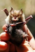 stock photo of drakula  - Bat with child studied by a chiropterologist - JPG