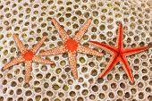 Marble Sea Star