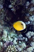 Polyp butterflyfish in the Red sea.