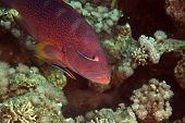 Coralgrouper and cleaner wrasse in de Red Sea.