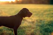 stock photo of chocolate lab  - chocolate labrador puppy looking out across fields - JPG