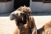 Poor Maintenance Of Animals In Captivity. Shabby Unkempt Camel In The Moscow Zoo. Unfortunate Animal poster