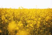 Photo Of A Yellow Flowers Field Of Raps, Beautiful Nature Concept poster