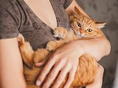 Cute Ginger Cat Is Sitting On Womans Hands And Staring At Camera. Symbol Of Fluffy Pet Adoption. poster