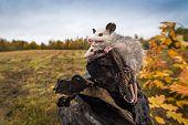 Opossum Joeys (didelphimorphia) Open Mouth At End Of Log Autumn - Captive Animals poster