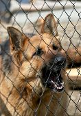 stock photo of vicious  - Barking German Shepherd dog behind a fence - JPG
