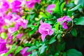 Pink Bougainvillea In The Garden Blurred Background, Pink Bougainvillea Flowers In The Garden That B poster
