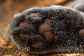 Bottom Of The Cats Paw. Close Up View On Cats Paw Pads. Brown Pads And Grey Fur. poster