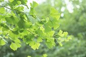 Ginkgo Biloba Tree With Leaves, Plant Used In Chinese Medicine. Ginkgo Tree Green Leaves, Medicinal  poster
