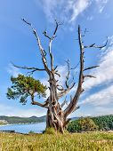 Gnarled Evergreen Tree At Washington Park, Anacortes, Washington