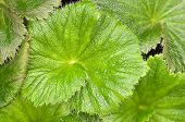 Macquarie Island Cabbage Leaves